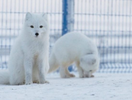 Arctic_lab_Yamal_2